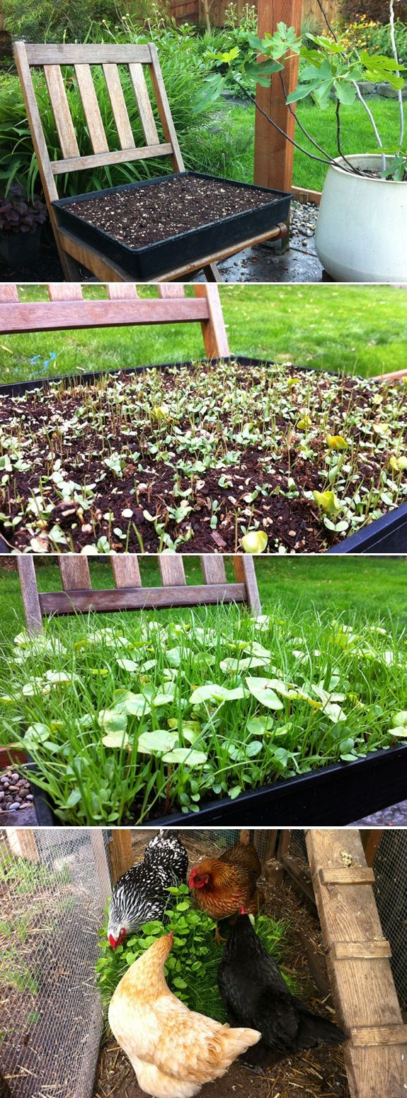 Growing Your Own Forage Blend is Easy You don't have to be a Master Gardener to grow your own Chicken Forage Blend. All it takes is a ...