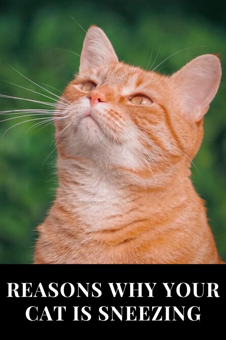 Reasons Why Your Cat Is Sneezing In 2020 Cat Sneezing Cats Funny Cats
