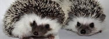 Výsledek obrázku pro ježek ušatý