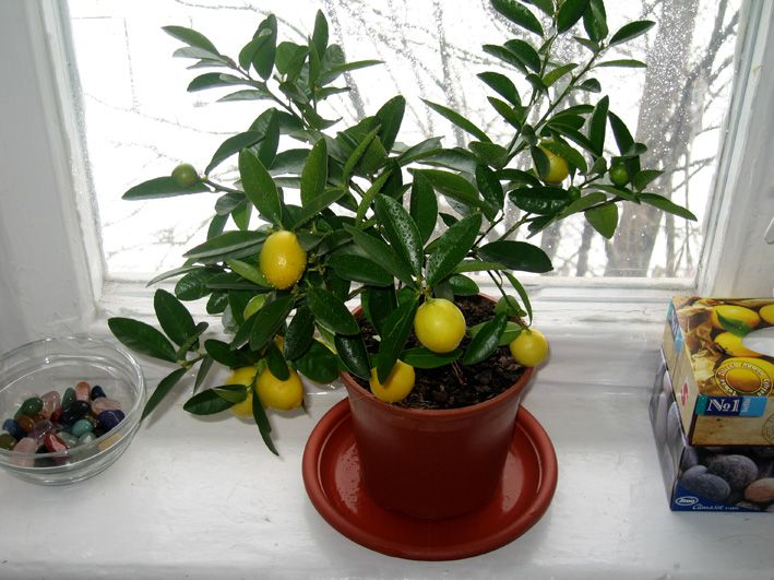 Sahara Sanders' lemon tree
