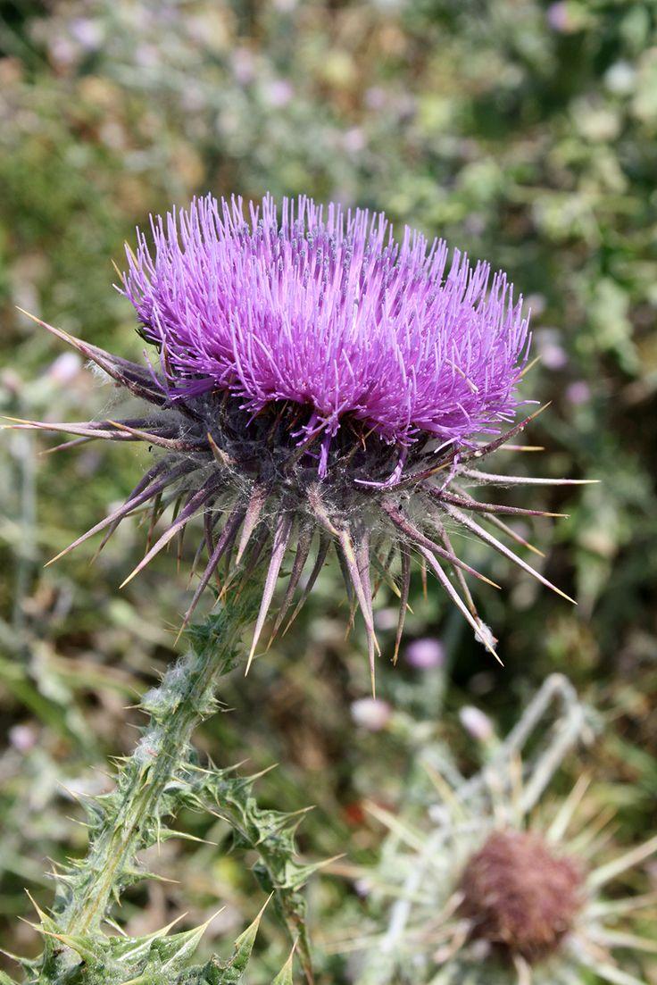 Sounio purple beauty