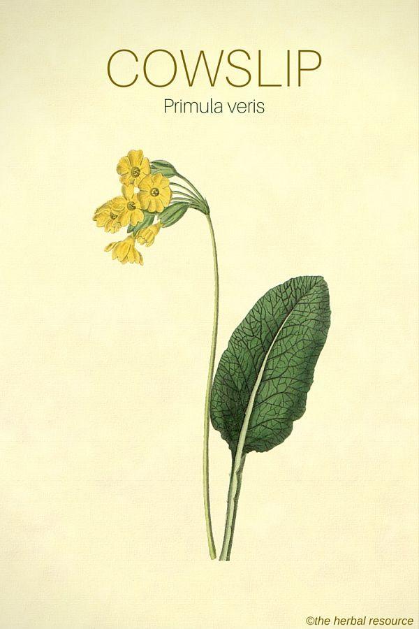 The Herb Cowslip (Primula veris)