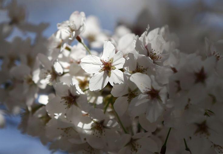 Il 'miracolo'' del Sakura si ripete. Con l'arrivo della primavera sboccia il ciliegio da fiore che riempie i paesaggi di bianco e rosa. La pianta ornamentale è il simbolo del Giappone e rappresenta fragilità, ma anche rinascita e vita. La sua fioritura è segno di ricchezza nella