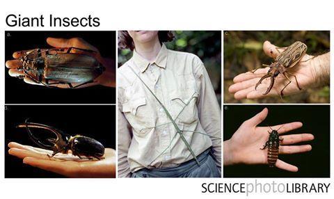 De arriba a abajo y de izq. a derecha:- Escarabajo titán -Insecto palo gigante -Escarabajo de cuernos largos -Escarabajo Hércules- Cucaracha silbante de Madagascar