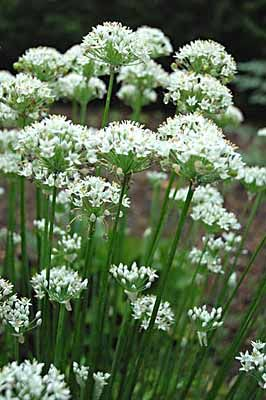 Garlic Chives ( Allium tuberosum) .. I've used their gorgeous flowers as cut flowers in the kitchen