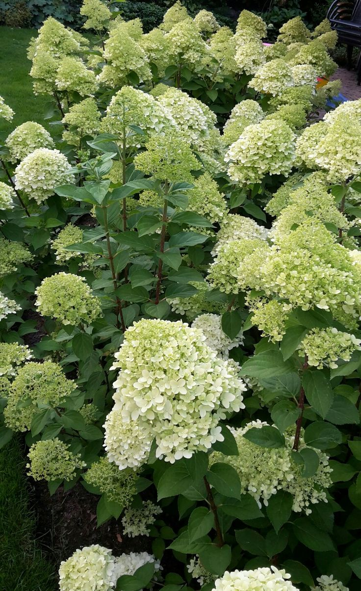 "Hortensia paniculata ""Limelight"""
