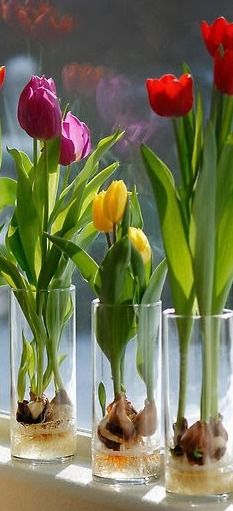 How to grow tulips in a vase !