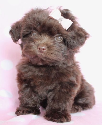 Yorkie Poo Information | Designer Breed Puppies For Sale in FL