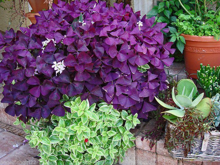 17 best ideas about purple shamrock on pinterest live plants purple plants and charleston gardens - Shamrock indoor plant ...