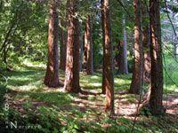 Sequoia sempervirens - Redwood