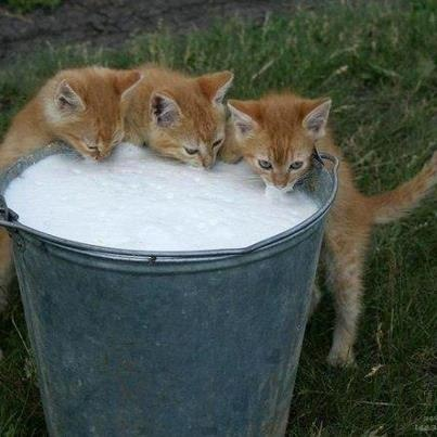 Kittens drinking out of a pail of milk. Cats,big and