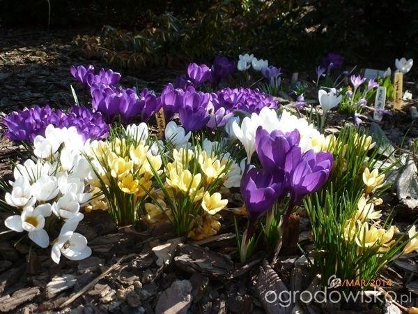 Ogrodnik Mimo Woli cd - strona 2132 - Forum ogrodnicze - Ogrodowisko