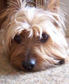 Buddy Butt, my silky terrier