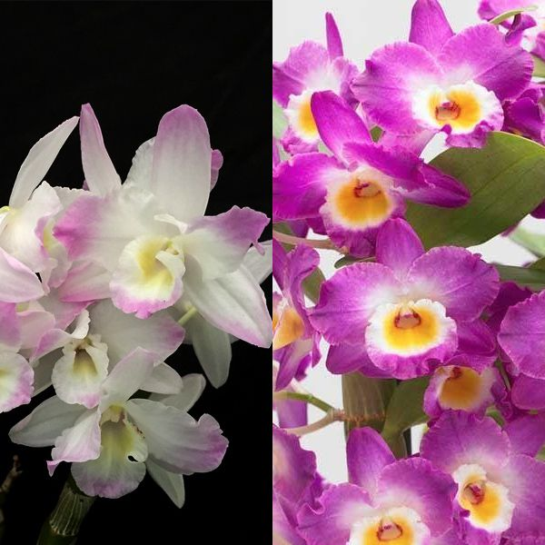 Dendrobium Nobile Combo Dendrobium Nobile Phalaenopsis Orchid Cattleya Orchid