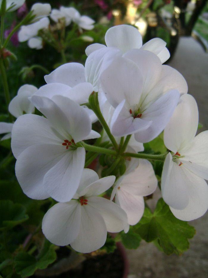 M s de 25 ideas incre bles sobre flores blancas en - Magnolia planta cuidados ...