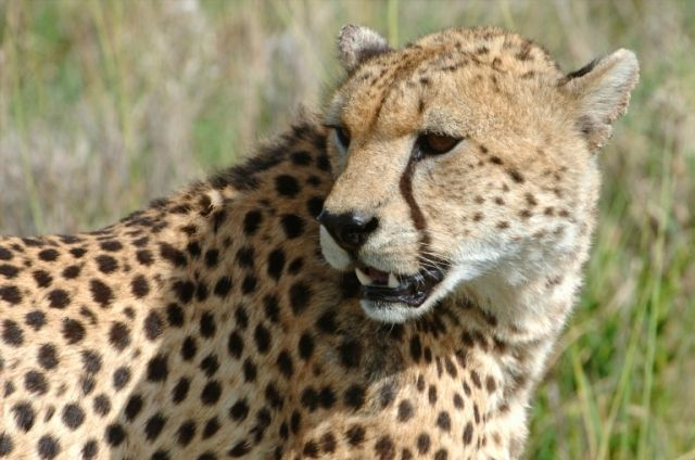 Visite Ngala Tented Safari Camp with African Welcome   http://www.africanwelcome.com/kruger-national-park/private-game-lodges-timbavati-kruger-national-park/and-beyond-ngala-tented-camp-kruger-national-park