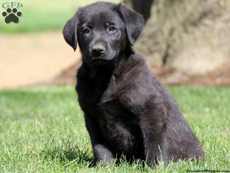 Trigg Doberman Pinscher Puppy For Sale in Pennsylvania