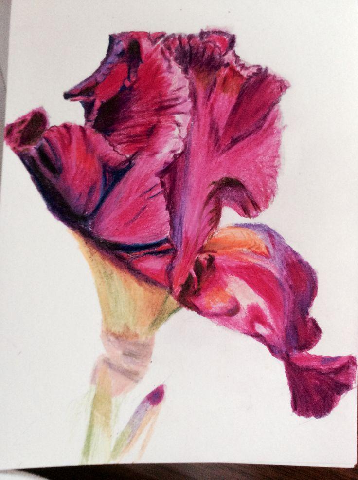 Coloured pencil Iris