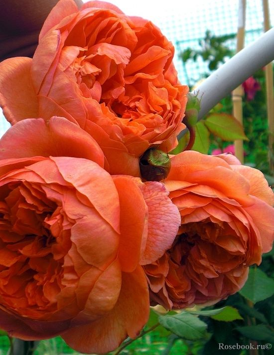 Orange Garden Rose: Orange Roses