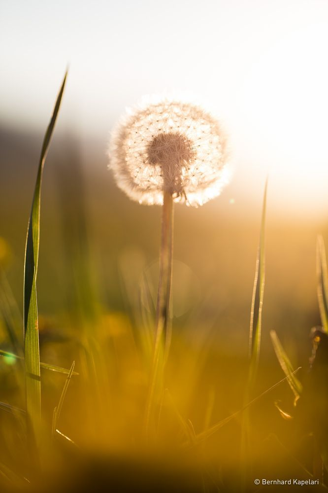 Sundown behind a dandelion 2 by Bernhard Kapelari