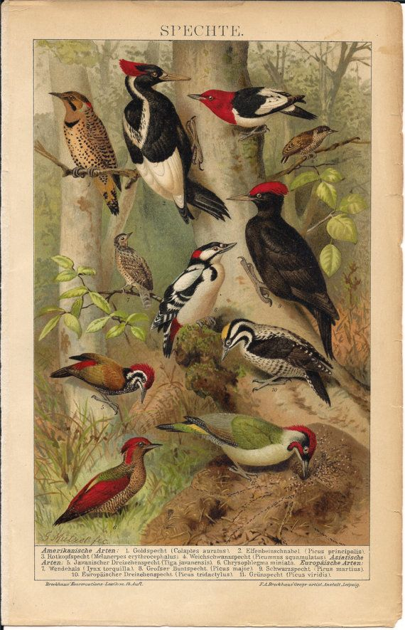 Gorgeous Antique Bird Print Woodpeckers C. by AntiquePrintBoutique