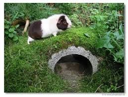 20 Best Guinea Pig Outside Spaces Images On Pinterest