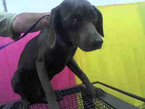 URGENT! Hound puppies @Devore Shelter is an adoptable Coonhound Dog in San Bernardino, CA. WILL YOU SAVE ME?  This dog is currently at the DEVORE ANIMAL SHELTER & VERY QUICKLY NEEDS A HOME. For inform...