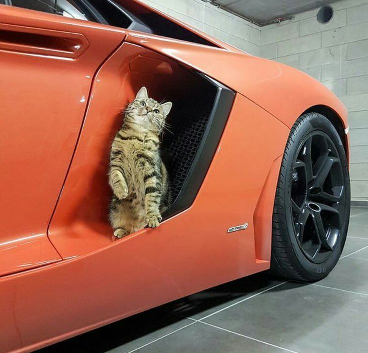 The Pussy And The Lambo