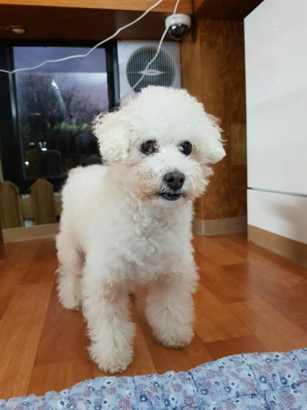 Wink Adoptable Dog Adult Male Miniature Poodle Lhasa Apso Mix
