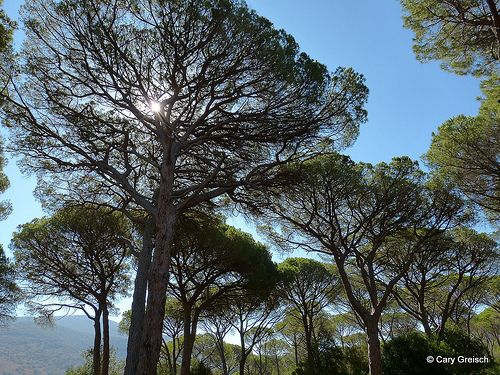 Pins parasol (Pinus pinea) au Parco Naturale della Maremma (2012-08-17 -28)
