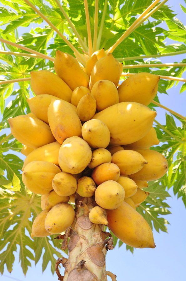 pawpaw. use in recipes like bananas. Must have male and female plants.  Maaaaraaaaviiilhoooso