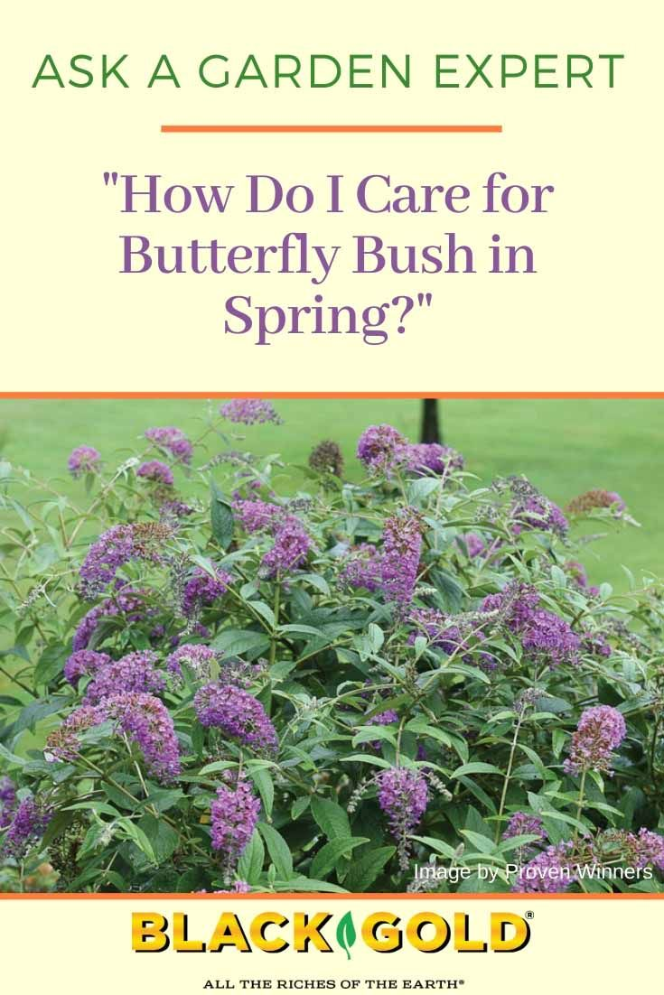 How Do I Care For Butterfly Bush In Spring Butterfly Bush Butterfly Bush Care Butterfly Plants