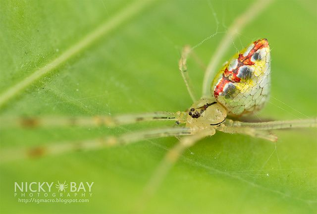 Mirror Spider (Thwaitesia sp.) - DSC_9978 by nickybay, via Flickr