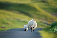 Scottish Blackface Sheep (Ovis aries) | Elliott Neep Wildlife Photography