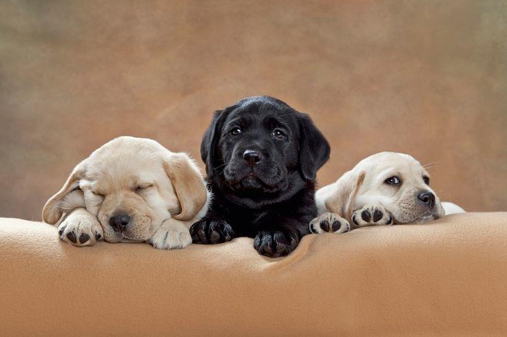 Die Fototapete zeigt drei Labradorwelpen auf einer Kuscheldecke. Erschöpft vom Rumtollen, machen sie es sich nun bequem. Eine Fototapete, nicht nur für Hundeliebhaber. #wallpaper
