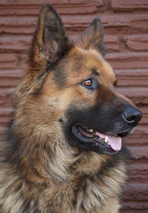 Rafiki von Rodenberg is a striking 3 year old long haired German Shepherd.