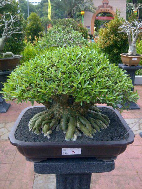 Bonsai de Adenium