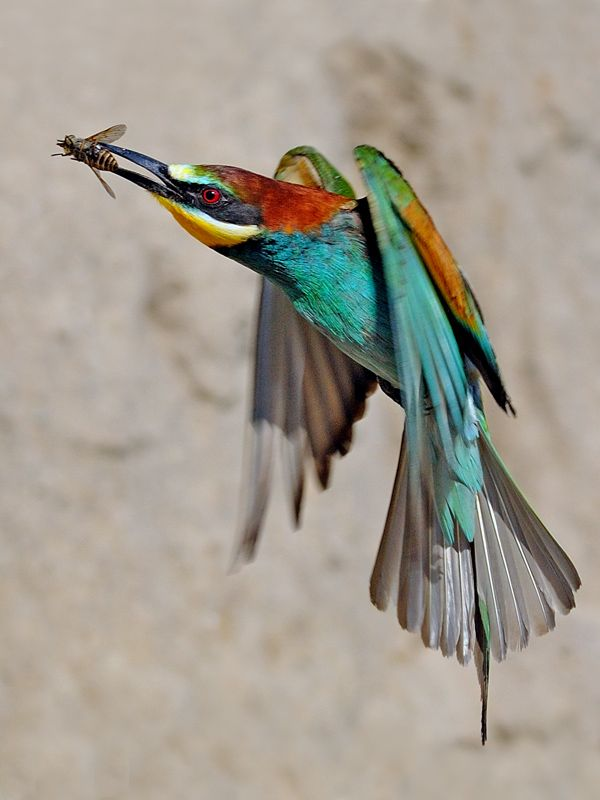 Bee-eater. It is interesting to pursue descriptions of how they catch the bees.