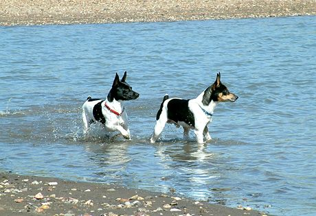 The best dog breed I have ever owned. So smart, loyal, caring and just an amazing & fun personality! The Rat Terrier