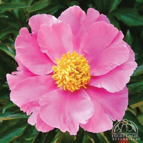 255 besten beauty of peony Bilder auf Pinterest | Blumengarten ...