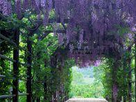 wisteria covered pergola
