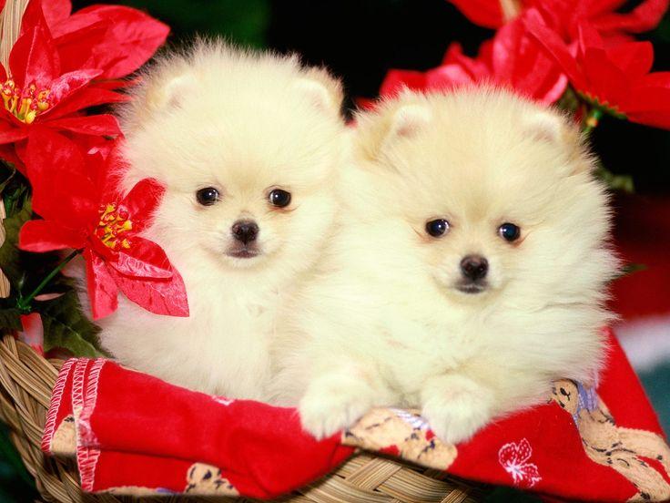 Pomeranian Sheepdog Photo Christmas Pomeranian Puppies Pictures