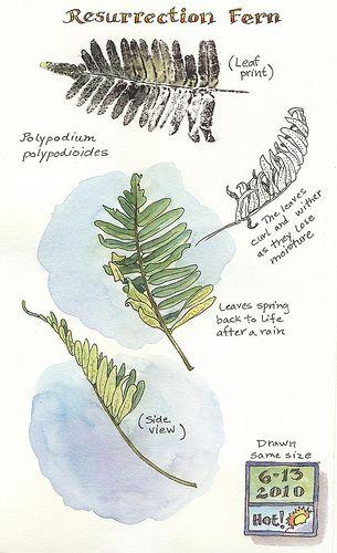 A Nature Art Journal in Southwest Florida: Resurrection fern