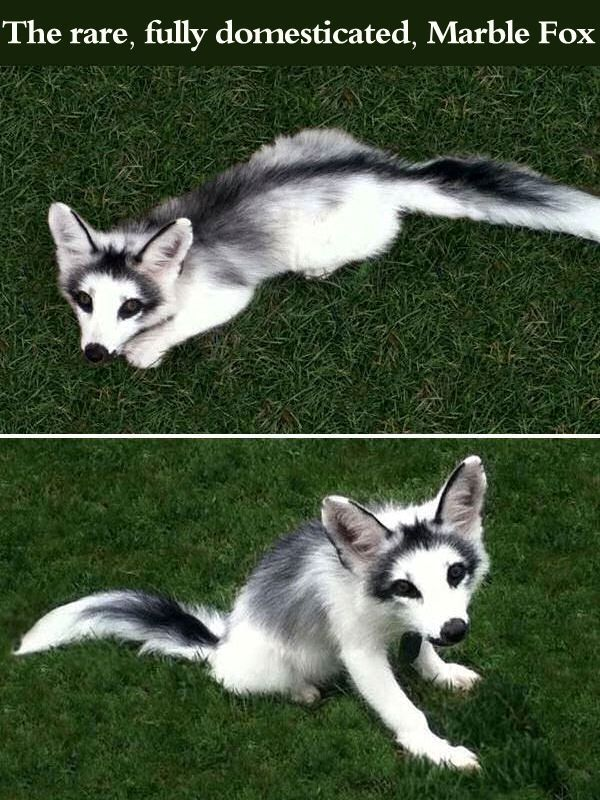 The Rare, Fully Domesticated, Marble Fox cute animals fox adorable animal pets baby animals wild animals