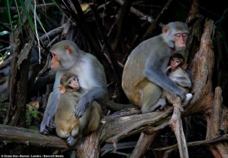 Rib Cage Circus Monkey By Theforgottenfriendsdeviantartcom