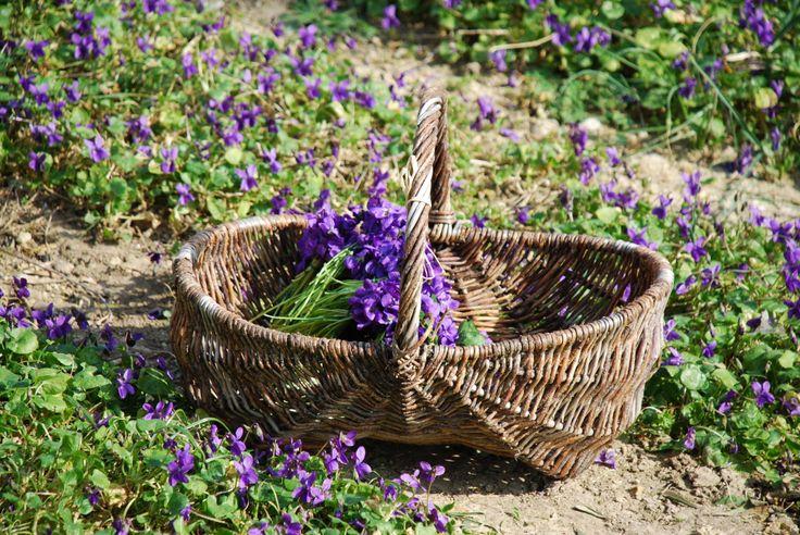 Violettes - Fragonard PARFUMEUR #Fragonard #Flowers #Violet #Provence