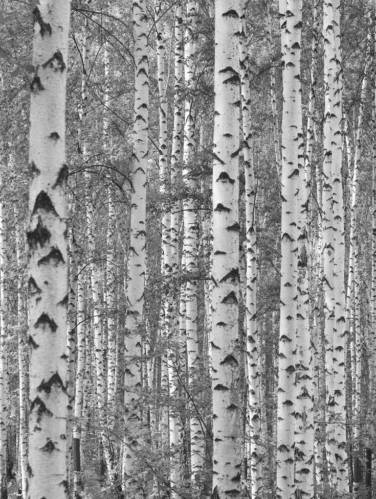Birch Tree Forest (Black and White) 6' x 8' (1,83m x 2,44m)