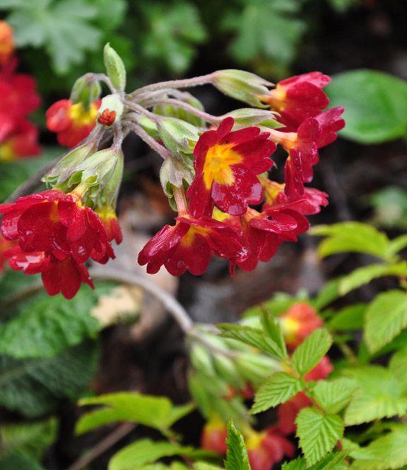 Three Dogs in a Garden: Merlin's Hollow, Aurora Ontario  Primula polyantha