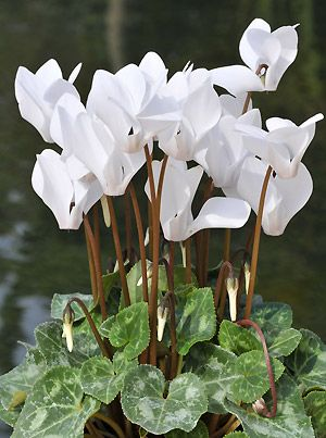 My new favorite indoor plant: cyclamen. looks as pretty as an orchid except it blooms way longer and is easier to care for