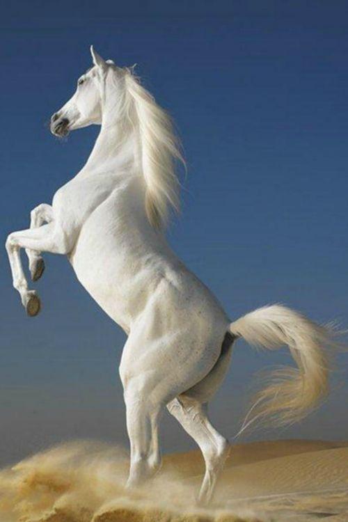 marilda-mm:    Arabian Horses Stalions by Olga Itina